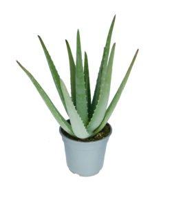 Aloes (otras variedades)