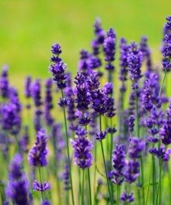 Plantas Aromáticas y Culinarias